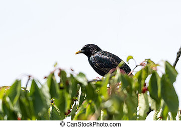 Starling on a cherry tree branch