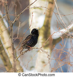 starling on a tree in spring