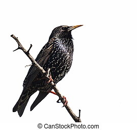 Starling on branch isolated on white background, Sturnus...