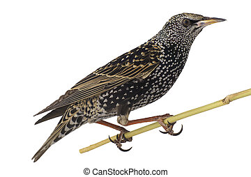 Starling - Starling (Sturnus vulgaris) isolated on white....