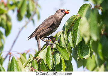 Starling stealing ripe cherries