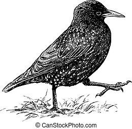 starling, striding