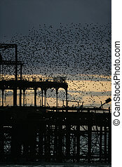 Starling, Sturnus vulgaris, Brighton pier roost, Sussex, UK,...