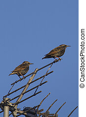 starling (sturnus vulgaris) - colorful starlings birds...