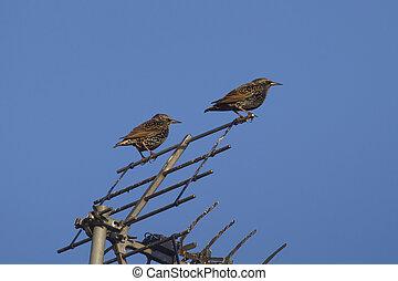 starling (sturnus vulgaris) - colorful starlings birds...
