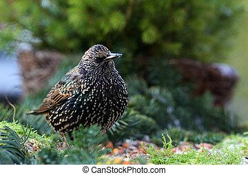 starling (sturnus vulgaris) feeding in a winter garden