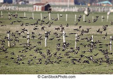 Starling, Sturnus vulgaris, flock in flight, Kent, March...