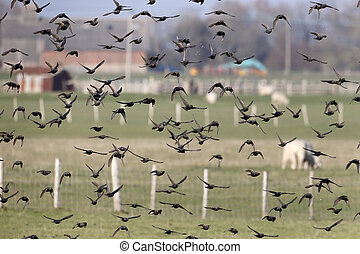 Starling, Sturnus vulgaris, flock in flight, Kent, March...