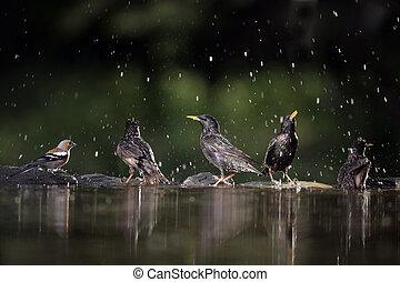 Starling, Sturnus vulgaris, group of birds at water, Hungary