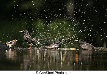 Starling, Sturnus vulgaris, group of birds at water, Hungary
