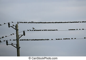 Starling, Sturnus vulgaris, group on wire, Bulgaria