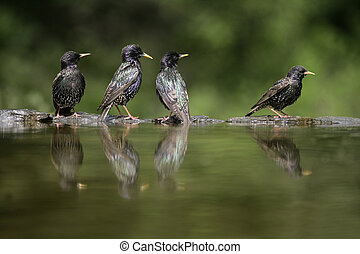 Starling, Sturnus vulgaris, Hungary