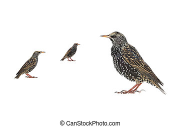 Starling (Sturnus vulgaris) isolated on white. Studio shot.
