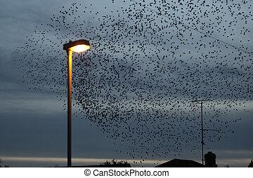Starling, Sturnus vulgaris, large evening roost with street light, Gloucestershire, UK, February 2011