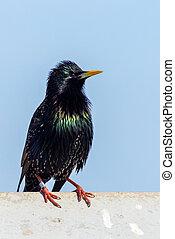 Starling (Sturnus vulgaris) perched on a tin roof