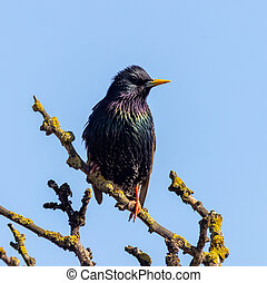 Starling (Sturnus vulgaris) perched on a tree