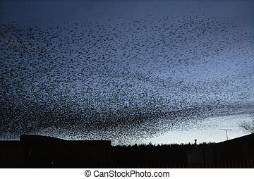 Starling, Sturnus vulgaris, roost in Staffordshire, UK