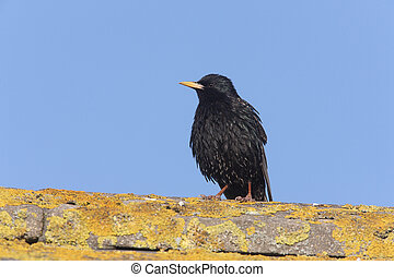 Starling, Sturnus vulgaris, Scotland, summer