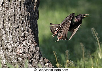 Starling, Sturnus vulgaris, single bird in flight leaving nest entrance, Bulgaria, May 2010
