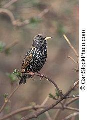 Starling, Sturnus vulgaris, single bird on branch, Warwickshire,