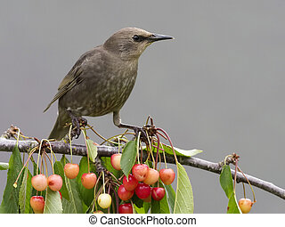 Starling, Sturnus vulgaris, single bird on cherry tree,...
