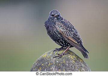 Starling, Sturnus vulgaris, single bird on fence,...