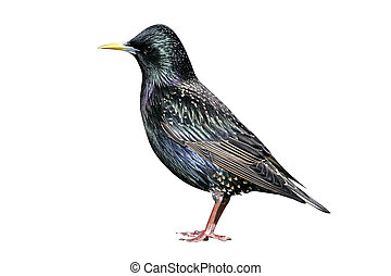 Starling, Sturnus vulgaris, single bird on ground,...