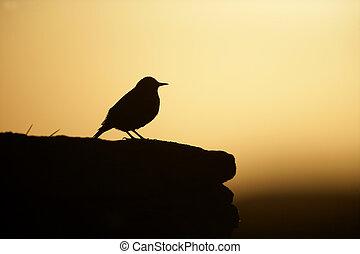 Starling, Sturnus vulgaris, single bird on post, Hebrides
