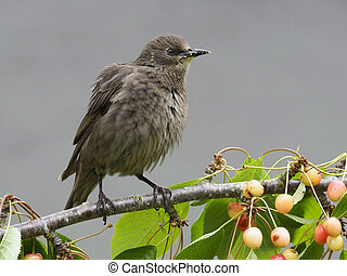 Starling, Sturnus vulgaris, single young bird bird on cherry...