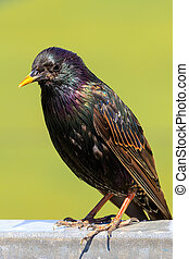 Starling - The beautiful colours of a starling close-up