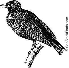 starling, vindima, engraving.