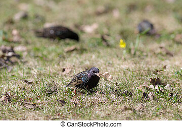 starlings on green grass