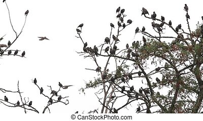 starlings sit down to rest after the flight on dry branches