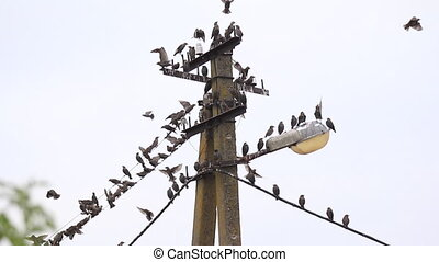 starlings sit on a lamppost for rest