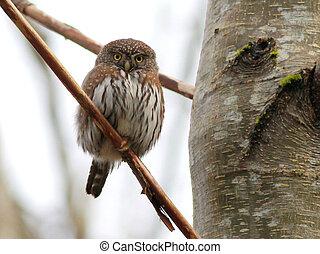 starren, pygmy-owl, nördlich