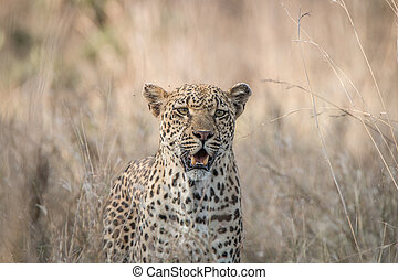 Starring Leopard in the grass