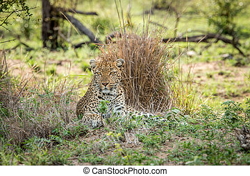 Starring Leopard in the Kruger National Park, South Africa.