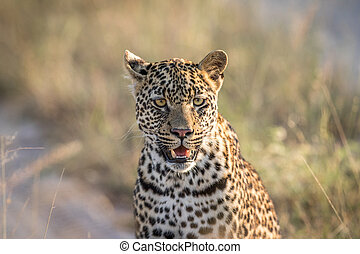 Starring Leopard in the Kruger.