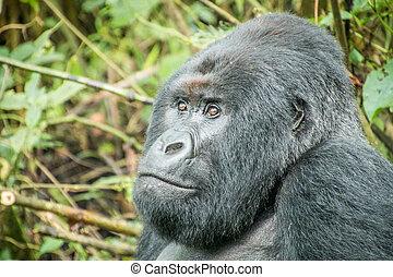 Starring Silverback Mountain gorilla.