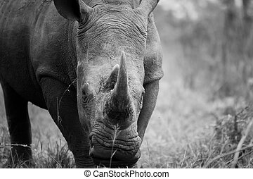Starring White rhino in black and white in the Kruger National Park, South Africa.