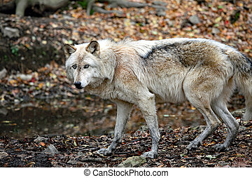 Startled wolf in the forest