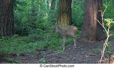Startled young mule deer running off in a woodland clearing