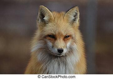 startlingly, hermoso, brillante, zorro rojo