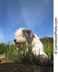 stary, sheepdog, kładąc, pies, zielony, angielski, trawa, bobtail, albo