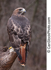 Stationary Red-tailed Hawk