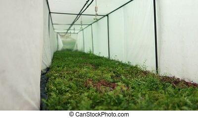 statique, agricole, sector., coup, large, system., sous, lotissements, petit, seedlings, pots, arroseuse, serre, conifère, vert, angle