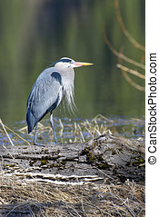 Statuesque heron. - Great blue heron stands like a statue on...