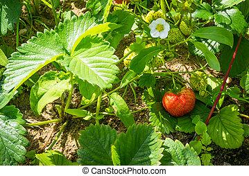 Stawberry in a garden