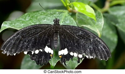Staying on the green leaf is a black butterfly
