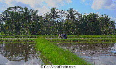 Steadicam shot of two undefined women planting rice seedlings on a big field surrounded with palm trees. rice cultivation concept. Travel to Asia concept